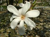 stock photo of japanese magnolia  - Beautiful flowers of japanese magnolia - JPG