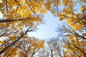 picture of maple tree  - Autumn tree - JPG