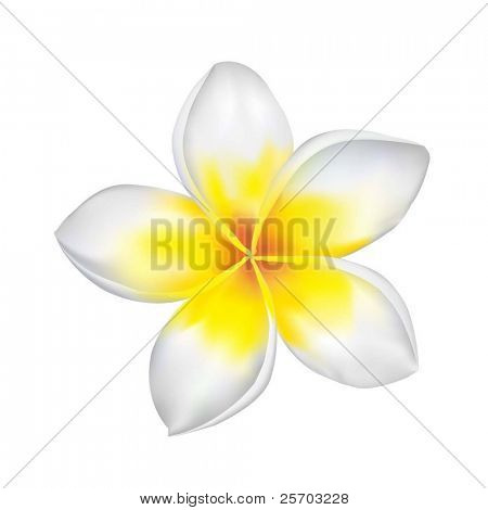Frangipani-Vector Illustration