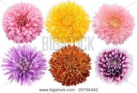 Set of dahlia flowers in different color on a white background.