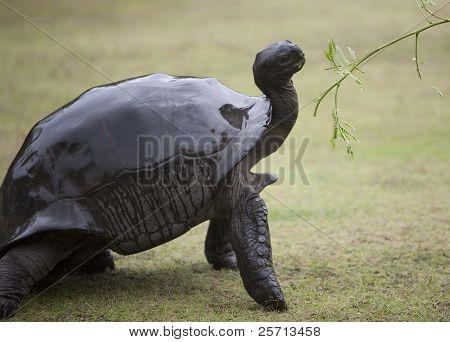 Elegant big turtle being offered green branch