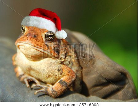 Serious Looking Frog Wearing Santa Hat