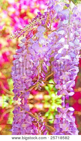 Beautiful wisteria vine flower blossoms hanging over still pond