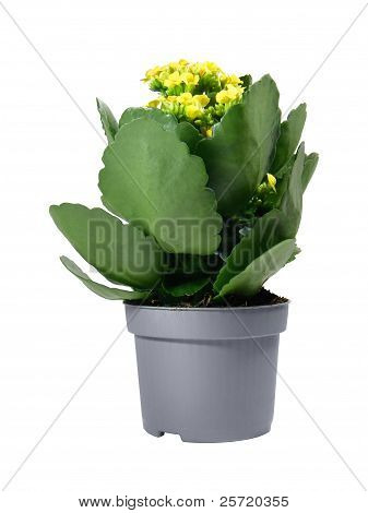 Yellow Kalanchoe