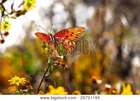 Pretty backlighting on butterfly resting on dandelion flower