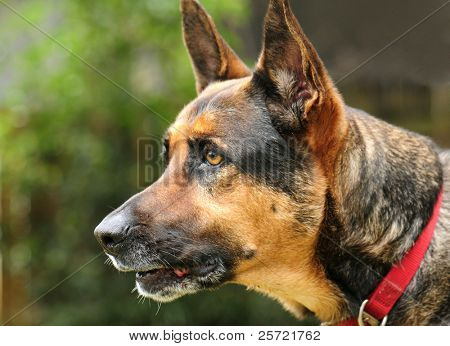 Alert German shepherd with ears perked