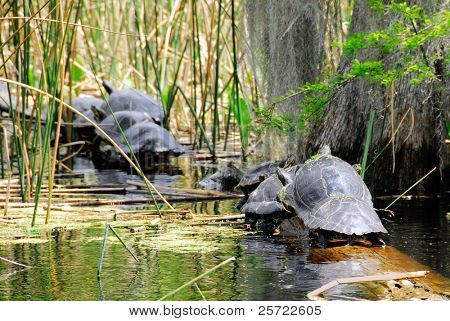 Row of turtles on a log in marsh