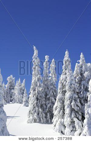 Schnee bedeckte Pinien und blauer Himmel