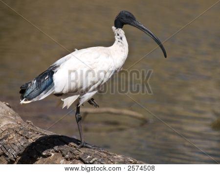 Balanced White Ibis