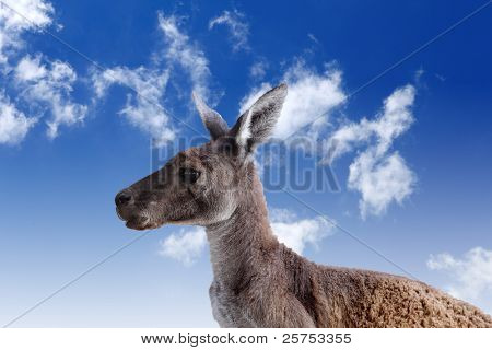 Kangaroo head against blue cloudy sky background