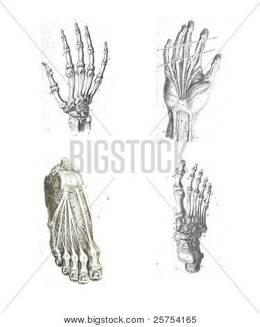 4 Views Of The Human Hand And Foot