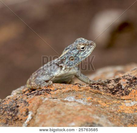 Southern Rock Agama (Lizard)