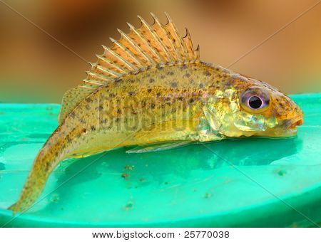 The Eurasian Ruffe (Gymnocephalus cernuus) is a freshwater predatory fish found in temperate regions of Europe and northern Asia.