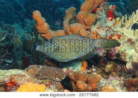 Scrawled Filefish on a Coral Reef