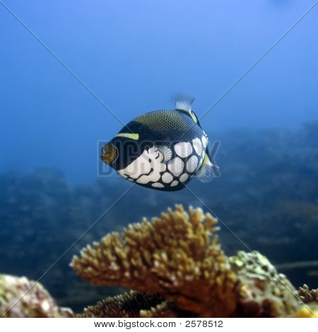 Tropical Fish Clown Triggerfish
