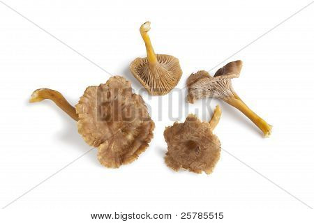 Chanterelle Grise Mushrooms