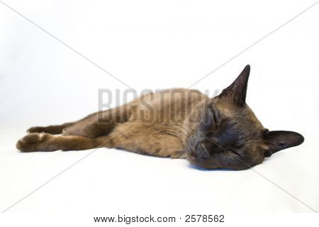 Tonkinese Cat Sleeping