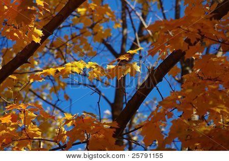 Autumn Leaves against a blue sky