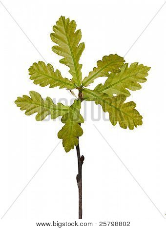 Small oak tree isolated on white