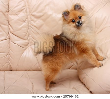 Spitz dog standing on a leather sofa.