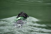 A Black Labrador Retriever Is Swimming In The Water poster