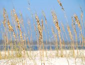 picture of sea oats  - Pretty sea oats on beach with ocean in distance - JPG