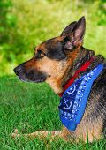 stock photo of shepherd dog  - Alert German Shepherd dog on grass - JPG