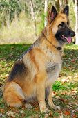 picture of german shepherd dogs  - German shepherd police dog on alert - JPG