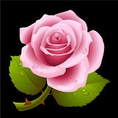 stock photo of rose flower  - Pink rose - JPG