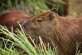 The Capybara Is A Mammal Native To South America. It Is The Largest Living Rodent In The World. poster