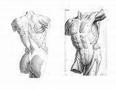 2 Views Of The Human Torso, Muscles And Internal Organs