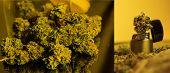 Marijuana Collage For Publication. Closeup Of Trichomes On Marijuana Buds. poster