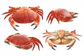 stock photo of craw  - Red crab on white background - JPG