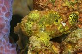 Longlure Frogfish Hiding on a Coral Reef