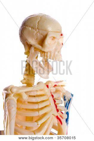 Skelett Steckbrett Modell. Isolierung auf der weißen