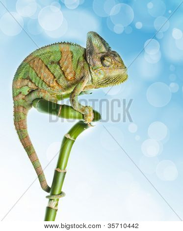 chameleon on a bamboo.