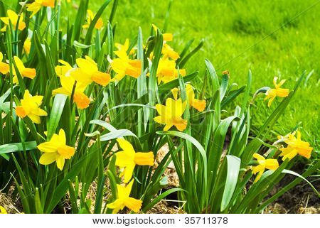 Yellow flowers of a narcissus