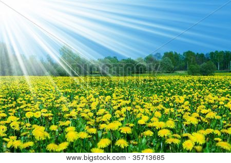 Field of dandelions on background of the sky