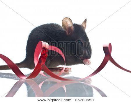 Close-up de graciosos rata aislado sobre fondo blanco