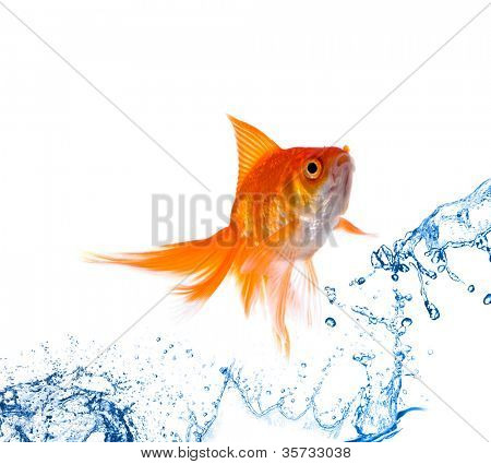 Gold fish. Isolation on white
