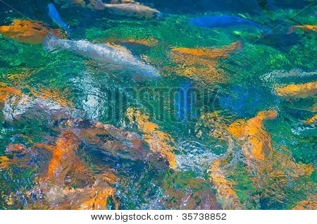 Multicolored trout swim in a river uncontaminated