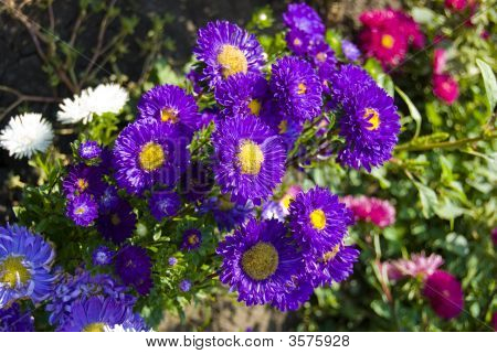 Garden Purple Flowers