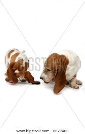 Two Basset Hounds Looking Or Sniffing At Something On The Floor