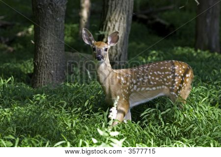 White Tail Deer Shenandoah Valley Virginia (Odocoileus Virginianus)