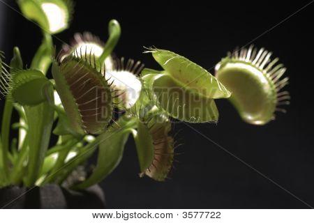 Venus Fly Trap (Dionaea Muscipula)
