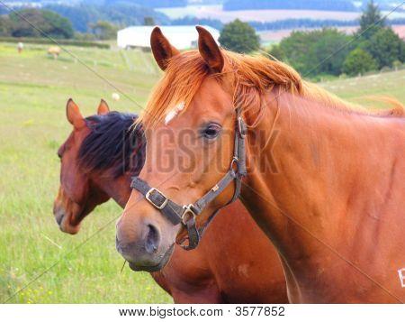 Horse And Grassland