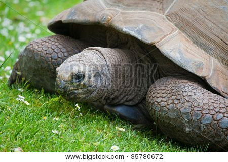 A giant galapagos turtle on a grass