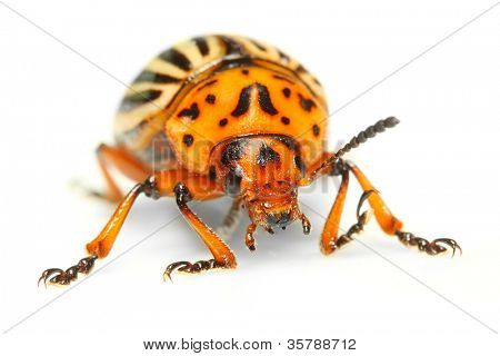 The Colorado potato beetle (Leptinotarsa decemlineata) is a serious pest of potatoes,  tomatoes and eggplants.  Insecticides are currently the main method of beetle control. Close up with shallow DOF.