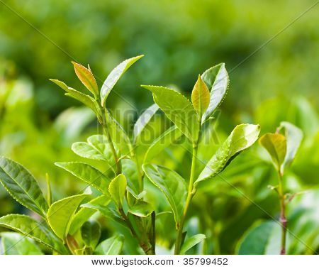 Fresh tea leaves on a plantation