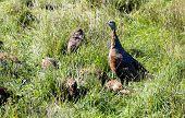 stock photo of wild turkey  - A group of wild turkeys in a green field - JPG